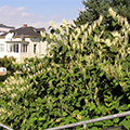 House with Japanese Knotweed